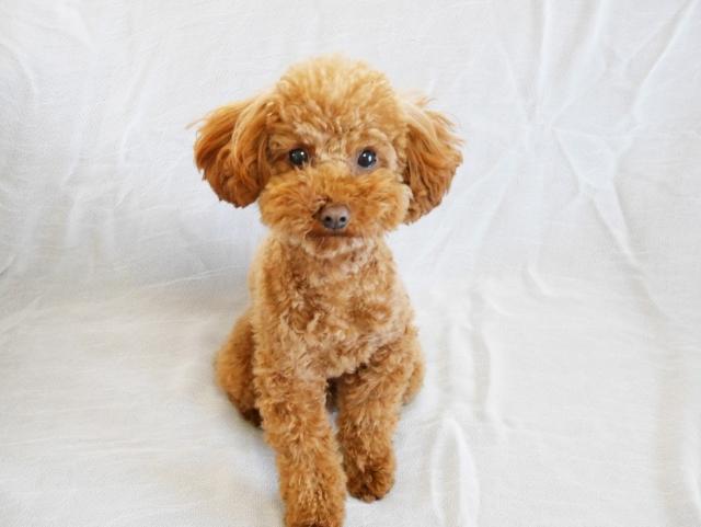 成犬トイプードルの体重は生後3か月の体重の●倍です!