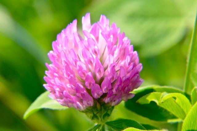 クローバーだけど花の色がピンク・・・その名前は●●です!